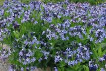 Amsonia tabernaemontana \'Blue Ice\'