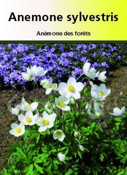 Anémona silvestris ou anémone des bois, vivace à fleur blanche au printemps
