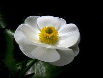 Anemone \'Pure White\'