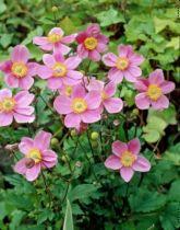 Anemone hupenhensis \'September Charm\'