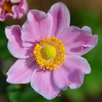 Anemone hupenhensis