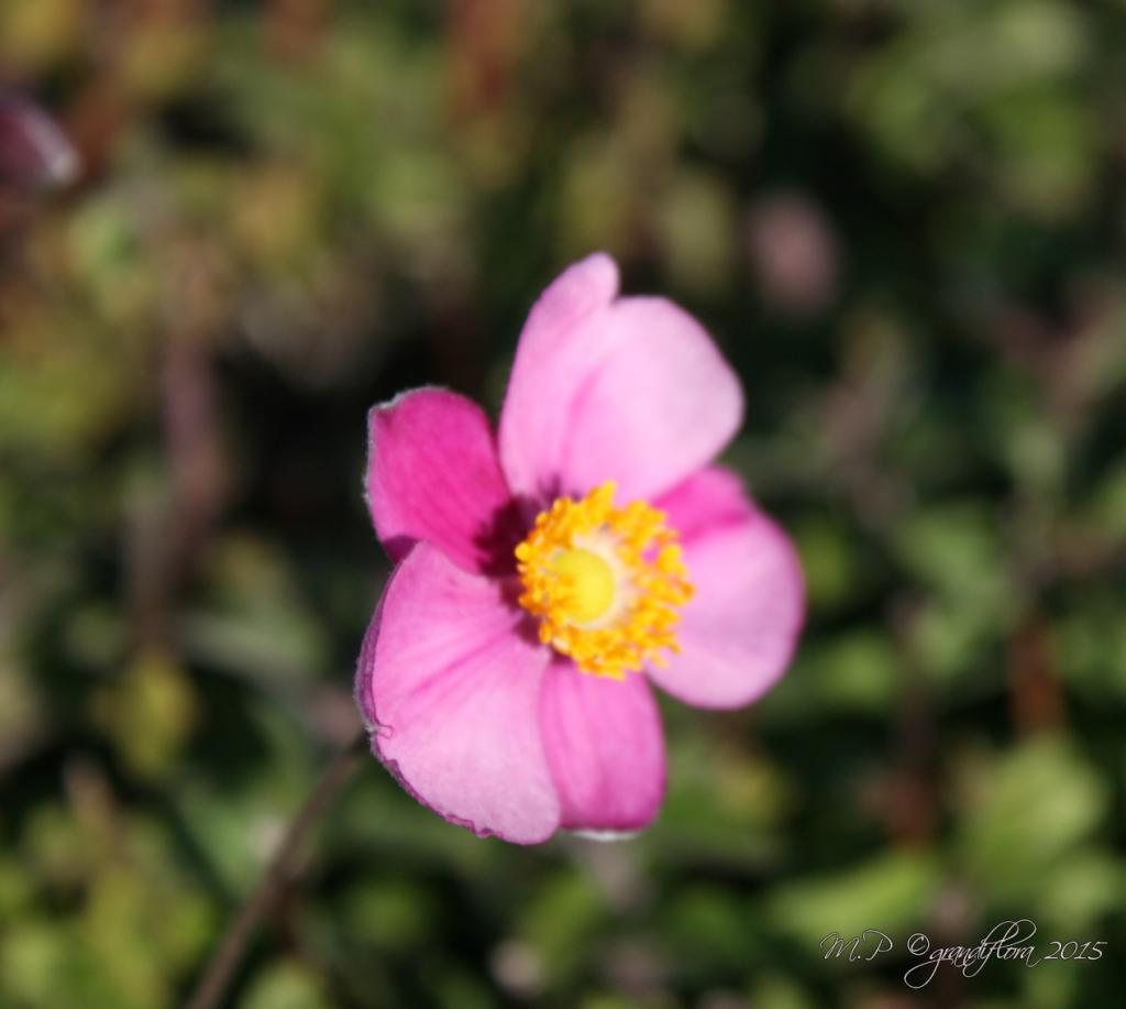 Anemone hybride \'Hadspen Abundance\'