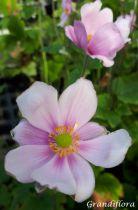 Anemone hybride \'Königin Charlotte\'