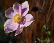 Anemone hybride \'Lorelei\'