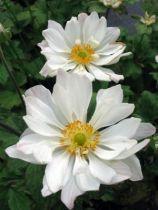 Anemone hybride \'Whirlwind\'
