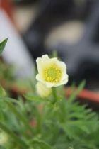 Anémone multifida \' Annabelle White \', vivace à feuille verte caduc et aux fleurs blanche au printemps.