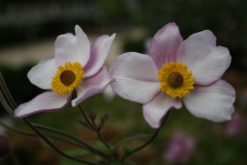 Anemone tomentosa \'Albadura\'