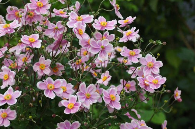 Anemone tomentosa 39 robustissima 39 grandiflora for Anemone giapponese