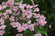 Anemone tomentosa \'Robustissima\'