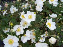 Anemone x hybrida \'Honorine Jobert\'