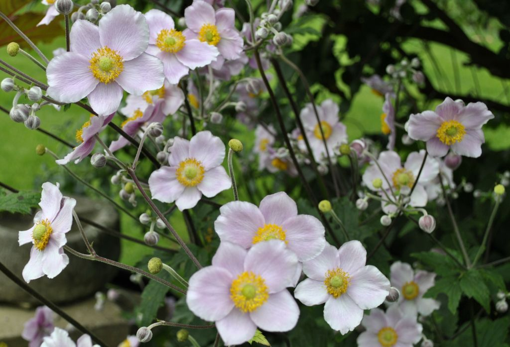 Anemone x hybrida \'Ouverture\'