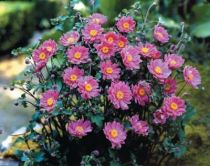 Anemone x hybrida \'Pamina\'