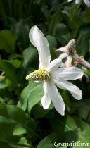 Anemopsis californica