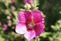 Anisodontea \'Large Red\'
