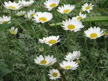 Anthemis* tinctoria Sauce Hollandaise