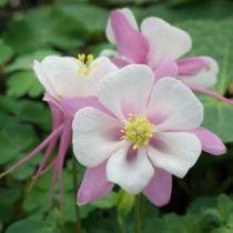 Aquilegia caerulea \'Origami Pink White\'