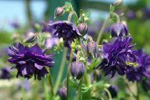 Aquilegia vulgaris \'Blue Barlow\'
