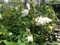 Aquilegia vulgaris \'White Barlow\'