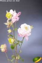 Aquilegia vulgaris \'Winky Dbl Rose & White\'