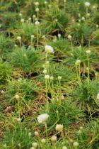 Armeria maritima \'Alba \' ou gazon d\'Espagne, vivace à feuillage vert fin et à floraison blanche en pompons de mai à juillet au soleil et dans des sols secs.