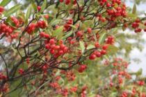Aronia arbutifolia \'Brilliant\'