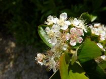 Aronia melanocarpa \'Viking\', arbuste à feuillage caduc vert prenant de belles couleurs d\'automne et à floraison blanche au printemps suivie de fruits rouges puis noirs.