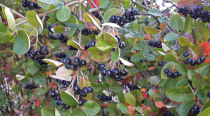 Aronia prunifolia \'Nero\'