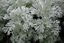 Artemisia absinthium \'Parfum d\'Ethiopie\'