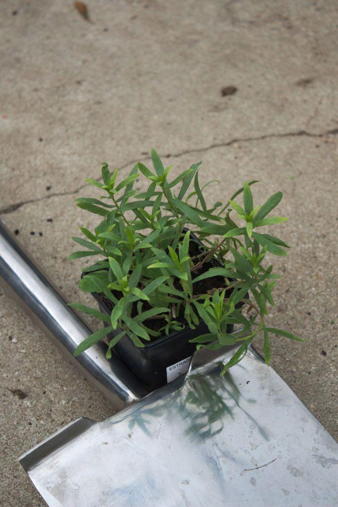 Artemisia dracunculus ( Estragon )