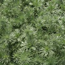 Artemisia schmidtiana \'Nana Attraction\'