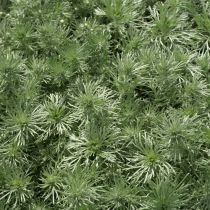 Artemisia schmidtiana \'Nana Attraction\'
