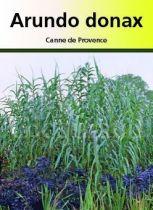Arundo Donax, graminée caduque verte à floraison pourpre en été.