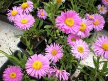 Aster alpin \' Happy End \' ou aster des Alpes à floraison rose au printemps, vivace de jardin