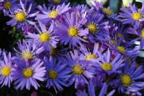 ASTER dumosus \'lady in blue\'