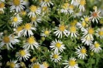 Aster ericoides \'Golden Spray\'