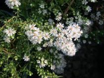 Aster ericoides \'Snow Flurry\'