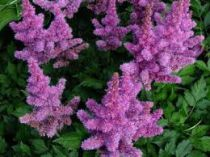 Astilbe chinensis \'Pumila\'