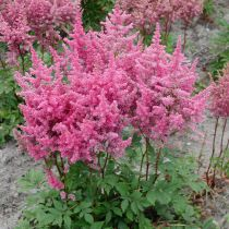 Astilbe chinensis \'Vision\'
