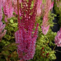 Astilbe chinensis \'Vision in Red\'®