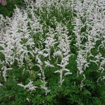 Astilbe Short n\' Sweet \'Whiteberry\'®