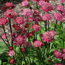 Astrantia major \'Ruby Wedding\'