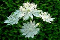 Astrantia major \'Snow Star\'