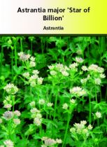 Astrantia major \'Star of Billion\'