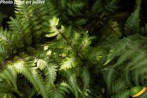 Athyrium niponicum pictum \'Pewter Lace\'