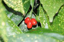 Aucuba japonica \'Crotonifolia\'