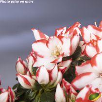 Azalea* fleurie