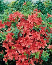 Azalea* japonica \'Agadir\'