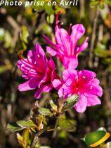 Azalea* japonica \'Amoena\'