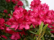 Azalea* japonica \'Ardeur\'