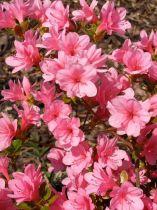 Azalea* japonica \'Blaauw\'s Pink\'